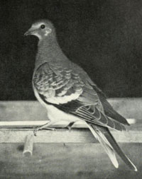 Passenger pigeon/Public domain photo