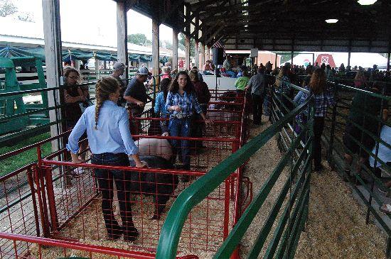 2016 fair livestock auction 13-opt