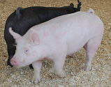 swine show results photo