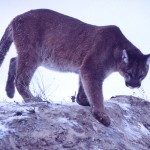 This photo of a mountain lion or cougar is in the public domain.