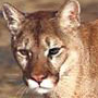 Mountain lion courtesy Wikimedia Commons