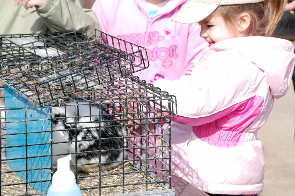 The Wheatland hunt had real rabbits and chicks on hand. Here Casey Shevokas tries to pet one of the bunnies.