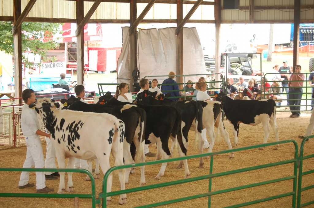 A group of grade Holsteins in the dairy show Friday morning.