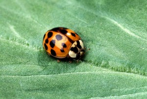 Asian multicolored lady beetle./Photo in public domain