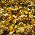 maple-leaves-web