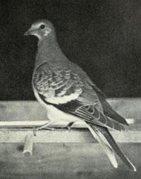 Passenger pigeon/Public domain photo