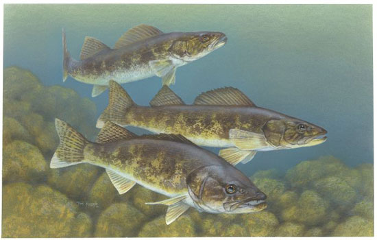 US Fish and Wildlife Service artwork by Timothy Knepp /public domain
