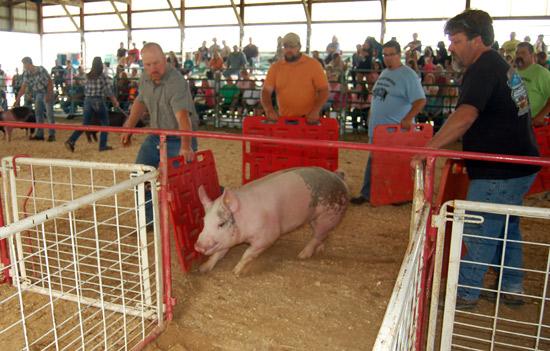 2014-swine-5