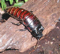 Madagascan Hissing Cockroach at Bristol Zoo, Bristol, England. Taken by Adrian Pingstone in August 2003 and placed in the public domain.
