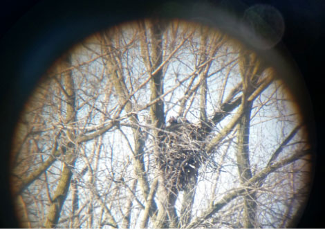 The Kenosha County bald eagle nest as seen through a spotting scope. /DNR photo